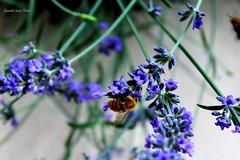 L' ape e la lavanda  / The bee and lavender (IVAN 63) Tags: flowers flower macro nature garden insect flora lavender bee ape bumble giardino lavanda