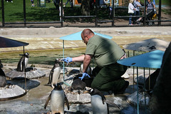 So long and thanks for all the fish (Jean I Cresol) Tags: uk food bird animal zoo penguins scotland spring unitedkingdom may eat meal feed 29th feedingtime edinburghzoo 2016