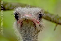 La avestruz... The Ostrich #animals #nature #wild #animalstare #miradaanimal #ostrich #avestruz #birds #aves (oscaralejandro1) Tags: wild nature birds animals aves ostrich avestruz animalstare miradaanimal