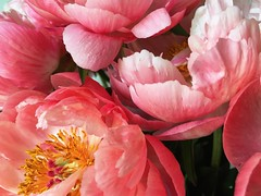 Happy Tuesday (life stories photography) Tags: pink flowers stilllife june coral square peony squareformat iphone 2016 iphoneography instagramapp uploaded:by=instagram