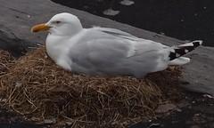 The Waiting Game (Insearchoflight) Tags: birds gulls stjohns featheredfriends commongull newfoundlandandlabrador insearchoflight waynenorman