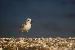 Blowing in the Wind (kathybaca) Tags: world ocean man bird nature water birds animal fly sand sweet small feathers save explore shore planet inlet species endangered bays plover peril snowyplover