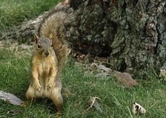Squirrel, Morton Arboretum. 352 (EOS) (Mega-Magpie) Tags: usa tree nature america canon outdoors eos illinois squirrel outdoor wildlife dupage arboretum il morton lisle 60d