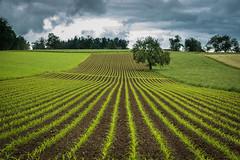 Green Lines (helena678) Tags: summer tree lines rain june clouds landscape switzerland cornfield nikon