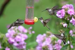 Hummer madness (dbifulco) Tags: rthu birds feeder flight flying garden nature newjersey nikkor300f4pfed phlox rubythroatedhummingbird wildlife