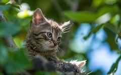 kittens (13) (Vlado Fereni) Tags: cats animals kitty croatia kittens catsdogs animalplanet hrvatska hrvatskozagorje nikkor8020028 zagorje nikond600 klenovnik