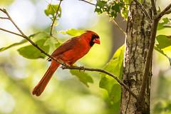 Cardinal 2016 18 (Jim Dollar) Tags: jimdollar cardinal zenglen indianland southcarolina sc birds scenesfrommyhammock canon6d