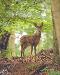 3E6A1473 (timothytripod) Tags: doe roe deer stag wildlife nature northeast northumberland animals animal wild explore