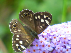 x P2520615c #SpeckledWood * and #Buddleia .. . (Erniebobble::) Tags: erniebobble 2016 nature newforest wildlifegarden wildlife balance butterfly lepidotera wings ephemeral edge environment climate delicate feeding colours chrispackham bct fleeting meadow restful reflection tranquil metamorphosis transient transitory painting pattern passage art floating flower garden gentle peaceful portrait resting suspended surface summer hues biodiversity ecosystem weather study stilllife secretworld unseen unsprung glimpse soft subdued muted season springwatch textural symbiosis pollination nectar antennae illuminating imagination inspiring education learning flight alight above harmonious happy smile