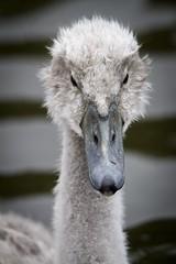 Bad hair day (amandahaxby) Tags: cygnet swan bird nature canon