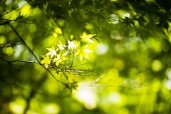 Sun Glitters (moaan) Tags: kobe hyogo japan jp light sunlight glittering momiji green bokeh dof leona mp leicamp type240 summilux 50mm f14 summilux50mmf14asph
