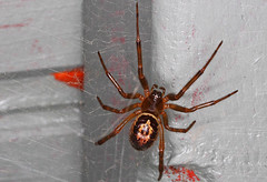 Its another Widow (Rog Warners Photography) Tags: s another widow