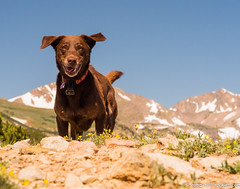 Evacuation Vacation (KB RRR) Tags: dog colorado rockymountains frontrange chocolatelabrador shyla