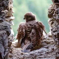 Young guardian (Michal Hajek) Tags: d5500 czphoto castle ruin svojanov