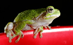 Tree Frog On My Pepper Planter (jpmatth) Tags: digital color canon eos 7d lenstagged ef50mm25compactmacro home garden animal tree frog guest night 2016