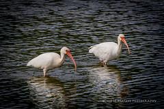 White Ibis (99baggett) Tags: audubon bird birdsanctuary birds egrets herons jmb1950 mbaggettphotography nature silverbluff silverbluffauduboncenter storks wildlife woodstorksibis