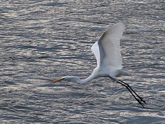 Great egret () (Greg Peterson in Japan) Tags: ritto shiga yasugawa rivers japan wildlife birds yasu egretsandherons deba shigaprefecture jpn
