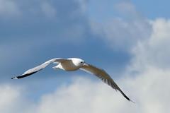 _1280493.jpg (Bucky-D) Tags: lakewinnipeg sand gull avian flight water fz1000 winnipegbeach seagull flying bird beach