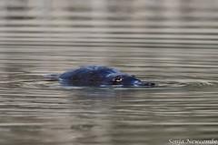 _SLN9877 (sonja.newcombe) Tags: tid tidbinbilla australia canberra wildlife platypus nikon d7000 sigmalens