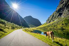 Walking on sunshine (Richard Larssen) Tags: richard richardlarssen møre og romsdal norangsdal larssen landscape cow animal norway norge norwegen nature sony scandinavia sun sunstar sunburst sel1635z alpha valley a7ii