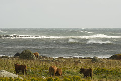 Relaxed cows and upset sea (Svein K. Bertheussen) Tags: sea ocean sj hav vind wind galeforcewind kuling waves blger kyr kuer cows rockybeach