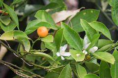 Calamondin (Citrus x microcarpa) (blumenbiene) Tags: plant pflanze flowers blüten blüte flower boga botanical garden botanischer garten dresden saxony sachsen calamondin citrus x microcarpa calamondinorange calamansi