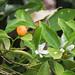 Calamondin (Citrus x microcarpa)