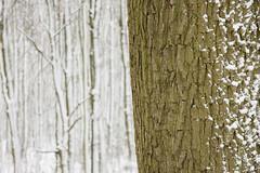 ckuchem-1657 (christine_kuchem) Tags: baumrinde buche bume eiche eis frost hainbuche natur pfad pflanzen ruhe samen spuren stille struktur wald weg wildpflanzen winter einsam kalt schnee ste