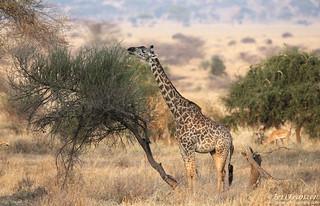 Masai Giraffe (Explore 9/25/2016)