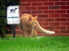 Who needs DogWatch when you have a fierce cat? (kennethkonica) Tags: dog animalplanet pet canonpowershot canon marioncounty global random hoosiers america usa midwest indiana indianapolis indy fun outdoor cat sign contrast whiskers animal animaleyes yard green grass feline redbrick brick tail