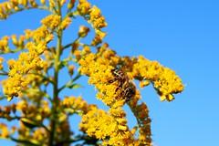 BeeFlower (Hannes Eisenach) Tags: sigma canon 80d bee biene blume flower natur berlin sommer