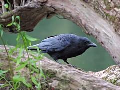 Crow (PhotoLoonie) Tags: crow carrion bird ukgardenbird wildbird britishbird ukbird britishwildlife wildlife ukwildlife feathers outdoors nature corvid