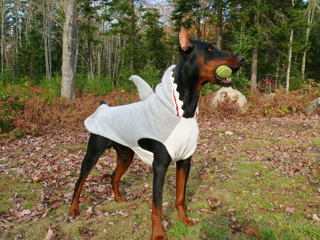 The World S Best Photos Of Doberman And Sweater Flickr