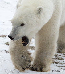 Polar-Bear-Trip-0041 (Mike Taddeo) Tags: bear winter cold ice mike canon bay o manitoba e u churchill hudson polar