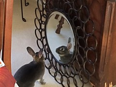 Rabbit through the Looking Glass (kenwaz) Tags: reflection rabbit bunny mirror konijn conejo coney rex coelho  lapin kaninchen hrs  cony