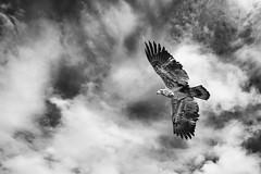 Bald Eagle at Paint Creek (AmyBaker0902) Tags: park ohio creek paint state eagle bald parks juvenile