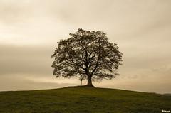 Votick javoR (Rianetna) Tags: singletree lonelytree solitarytree acerpseudoplatanus javor lonesometree osamlstrom votickjavor votickyjavor