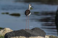 Black-winged stilt (Drswidah) Tags: nature nikon 300mm jeddah nikkor saudiarabia ksa blackwingedstilt 300mmf4