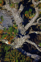 Pygmy Pitch Pine on Hawksbill Mountain 2014-1017-215 (LostPineJim) Tags: northcarolina linvillegorge pitchpine pinusrigida burkecounty hawksbillmountain