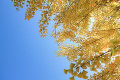 嚮往藍天 (湯小米) Tags: blue sky tree nature yellow canon landscape aomori 日本 銀杏 自然 東北 風景 天空 sunnyday japen 日本東北 黃色 樹 藍天 eosm 本州 apsc 青森市 青森縣 efm22mmf2stm 微單眼