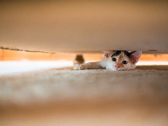 Kitten hiding under the couch (Ivan Radic) Tags: olympusomdem10 panasonicleica25mmf14 panasonicleicadgsummilux25mmf14asph panasonic25mmf14 panasonic2514 cat blurrybackground kitten hiding under couch kätzchen unter bett omd olympus mft microft micro43 mirrorless spiegellos ilc evil csc systemkamera systemcamera format panasonichx025e primelens festbrennweite fixfocallens normalbrennweite standardprime katze feline ivanradic
