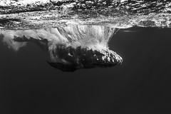Humpback Whale after a breach (scott1e2310) Tags: ocean blue underwater diving freediving southpacific scubadiving whales humpbackwhale tonga