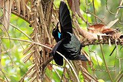 Sideways courtship (aussiegypsy_Katherine NT) Tags: black male bird nature forest spectacular hope fan wings rainforest display unique australian australia woo birdofparadise queensland tropical attract iridescent unusual wish aussie attention tropics attraction kuranda courting wishing outstretched hopeful plumage birdlife fnq courtship athertontablelands blackandblue wettropics wooing victoriasriflebird ptilorisvictoriae courtshipdisplay riflebird fanshaped paradisaeidae waitawhile farnorthqld optimisism lawyercane duwuduwu
