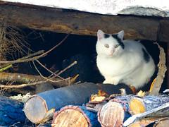 Águas Frias (Chaves) - ... o gato sobre a lenha já pitada ... (Mário Silva) Tags: gato animais outono chaves aldeia trásosmontes 2014 águasfrias lumbudus