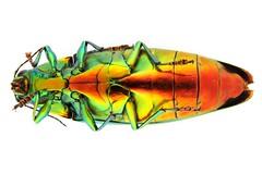 yamatotamamushifm_dscn1093 (takao-bw) Tags: macro japan insect beetle coleoptera buprestidae jewelbeetle