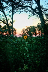 Flower at Hoosier Prairie State Nature Preserve (JoeyBLS Photography) Tags: park sunset flower unitedstatesofamerica indiana schererville sunsetflower hoosierprairie scherervillesunset hoosierprairieschererville northwestindianapark northwestindianapreserve