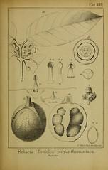 n176_w1150 (BioDivLibrary) Tags: brazil archaeology botany periodicals amazonas harvarduniversitybotanylibraries bhl:page=42983705 dc:identifier=httpbiodiversitylibraryorgpage42983705 salaciapolyanthomaniaca salaciatonteleapolyanthomaniaca taxonomy:binomial=salaciaimpressifolia