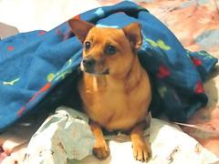 New Blankie (M.P.N.texan) Tags: christmas dog blanket chuck blankie miniaturepinscher minpin toydog