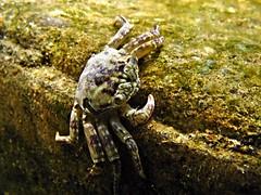 crab (explore) (DOLCEVITALUX) Tags: underwater philippines crab scuba scubadiving batangas