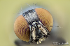 Fly (Karlgoro1) Tags: color macro eye yellow closeup canon bug insect eos fly photo eyes nikon focus head plan stack na ii 7d usm wd ef cfi 025 105mm stacker 10x 55200mm greatphotographers f4556 zerene achromat specinsect macrolife